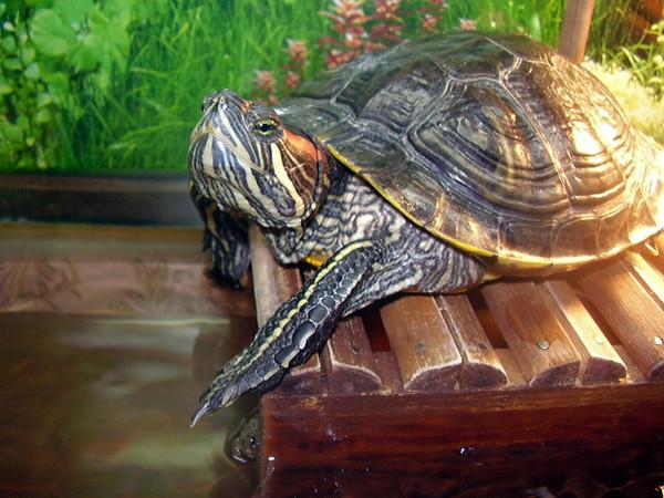 шестилетнем водные черепахи уход и содержание фото девственности