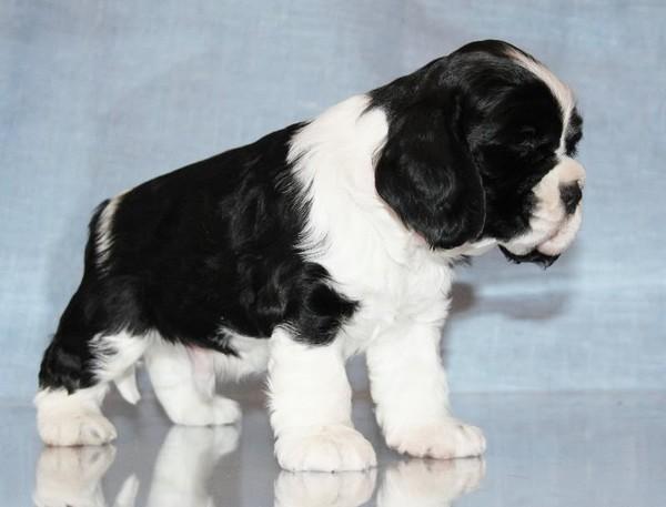 спаниель щенки фото черно белый